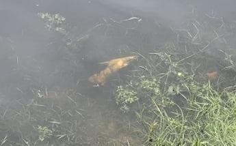 Мертва риба вздовж берега